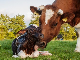 تمليك أبقار